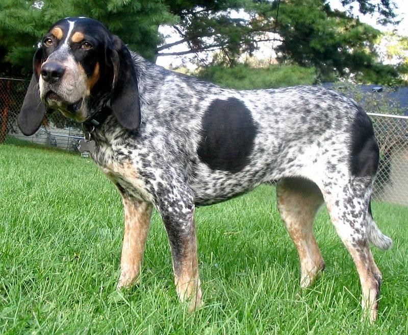 Actualización 12/05/2016, Nuevo perro: Sabueso azul de Gascuña SMALL-BLUE-GASCONY-BLUE