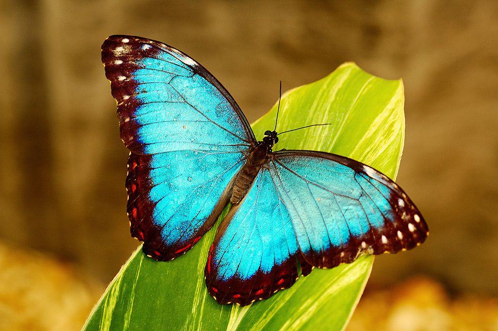Fly Freely BlueMorphoZ