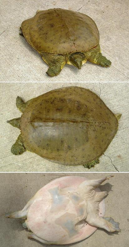 La tortue Trionychidae Thespinysoftshellreg