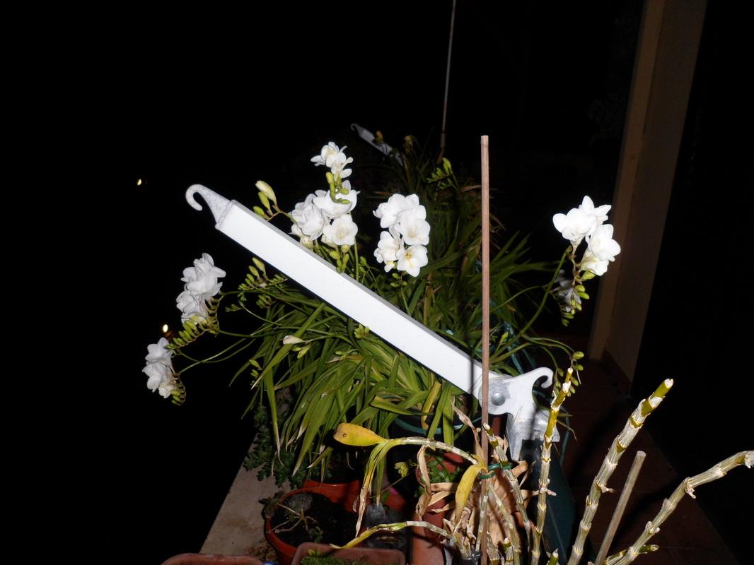 i Nostri bulbi che fioriscono/ tempistiche sull'impianto.... 293807_orig