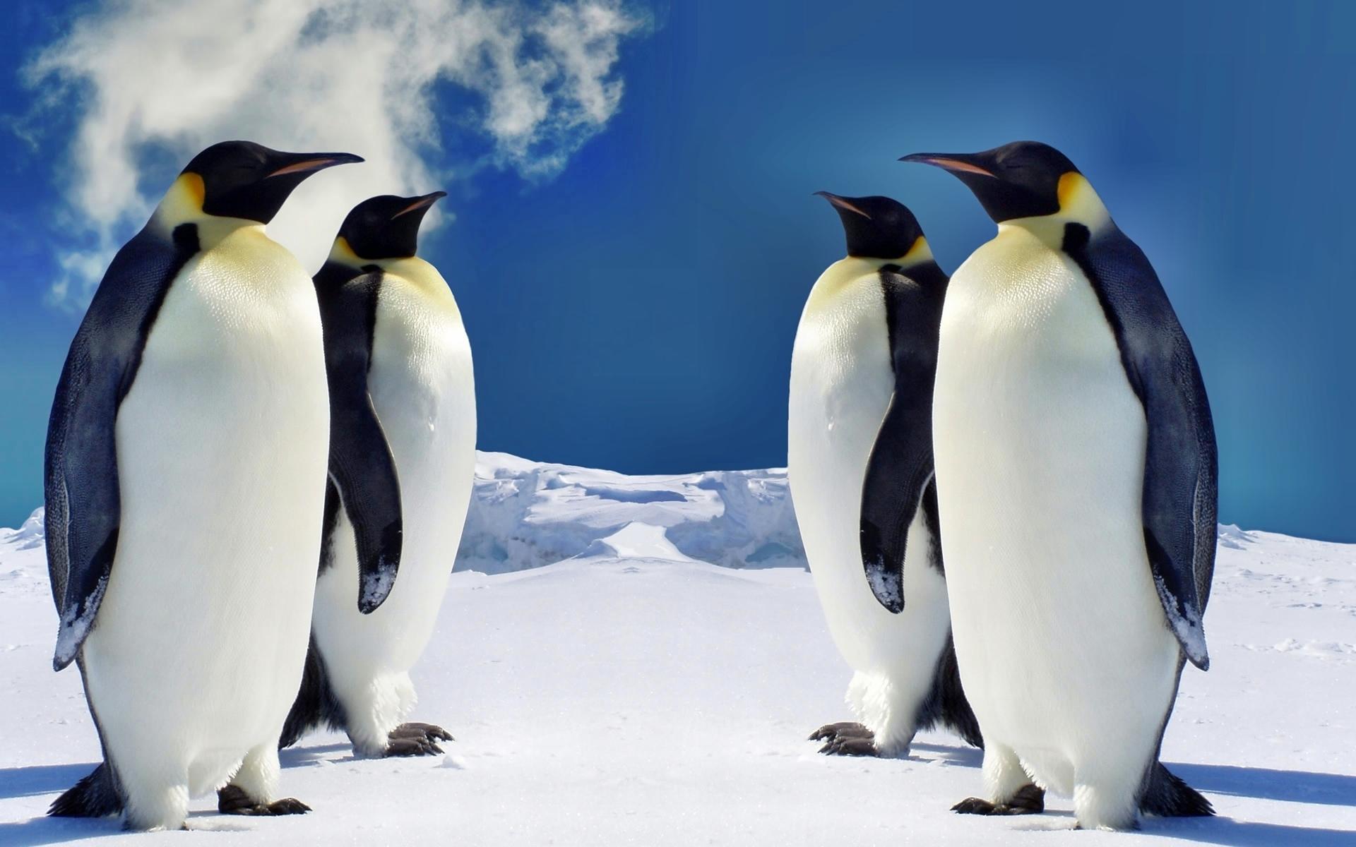 Le Zodiarc-en-ciel 03-pingouin-pingouins-animaux
