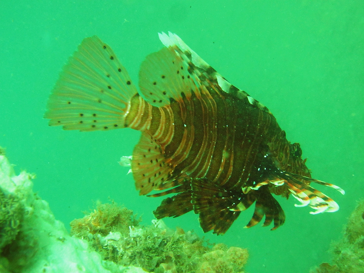 Sunday Dive: 14-04-2013 Coogee - Seiko SRP043 Coogee%2014-04-2013%20lionfish%202