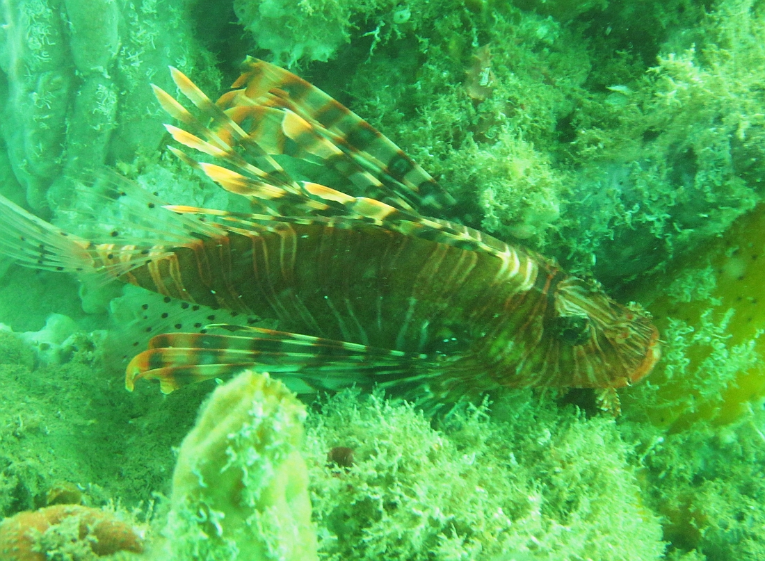 Sunday Dive: 14-04-2013 Coogee - Seiko SRP043 Coogee%2014-04-2013%20lionfish%203