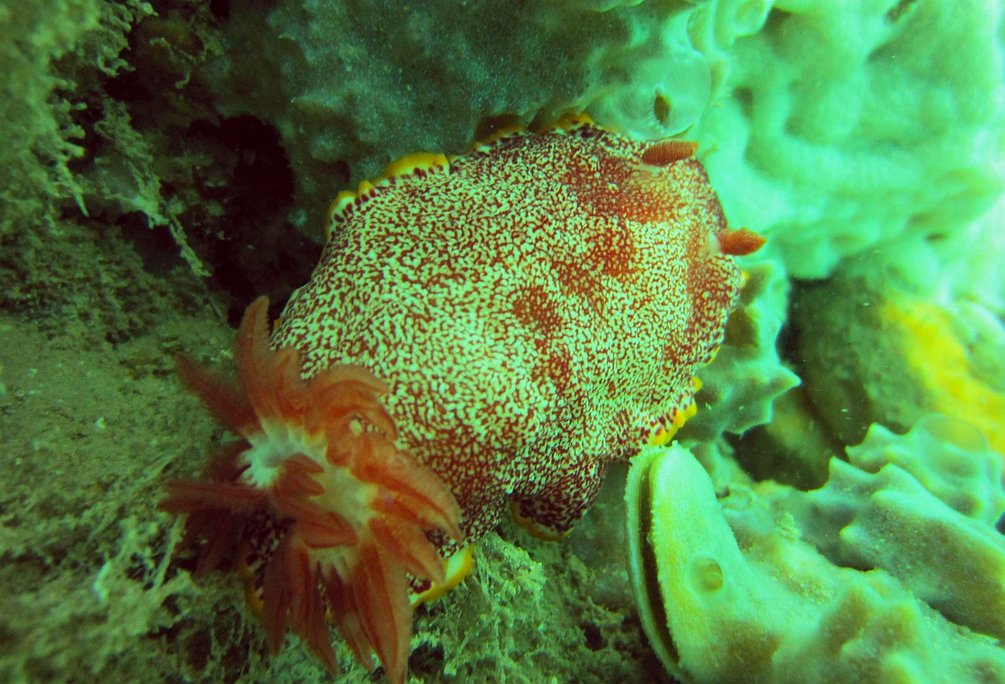 Sunday Dive: 14-04-2013 Coogee - Seiko SRP043 Coogee%2014-04-2013%20nudibranch%201