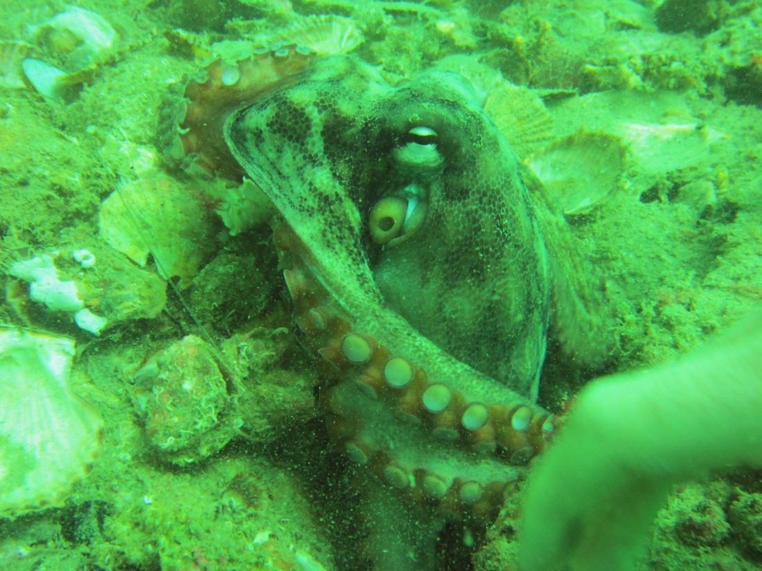 Sunday Dive: 14-04-2013 Coogee - Seiko SRP043 Coogee%2014-04-2013%20octopus%204