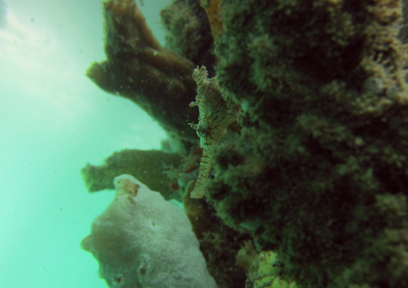 Sunday Dive: 14-04-2013 Coogee - Seiko SRP043 Coogee%2014-04-2013%20seahorse%201
