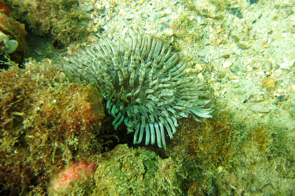 Sunday Dive: 21-04-2013 Rockingham - Orient Mako Rockingham%20grain%20teminal%2021-04-2013%20anenome%203