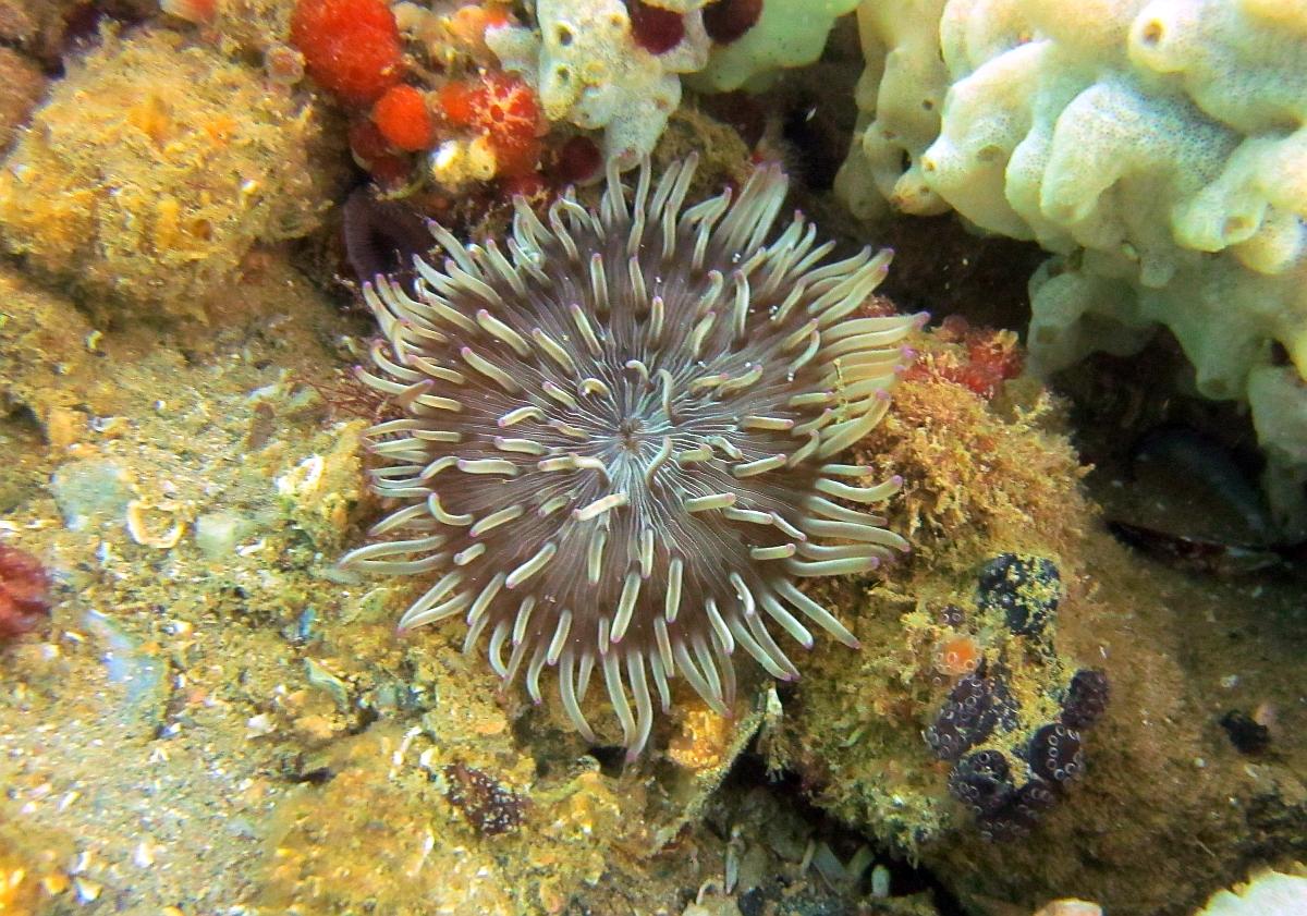 Sunday Dive: 21-04-2013 Rockingham - Orient Mako Rockingham%20grain%20teminal%2021-04-2013%20anenome%206