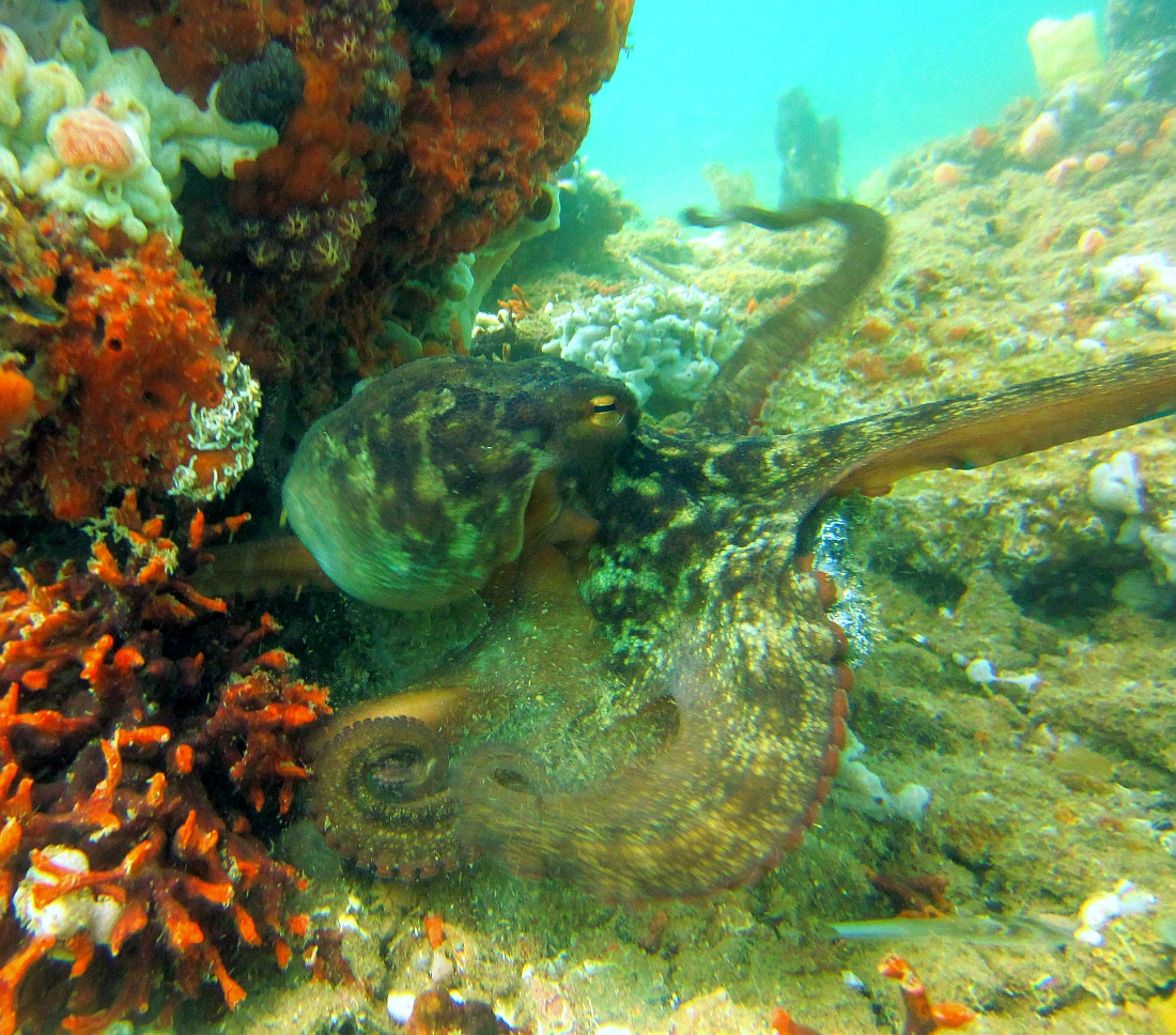 Sunday Dive: 21-04-2013 Rockingham - Orient Mako Rockingham%20grain%20teminal%2021-04-2013%20octopus%200