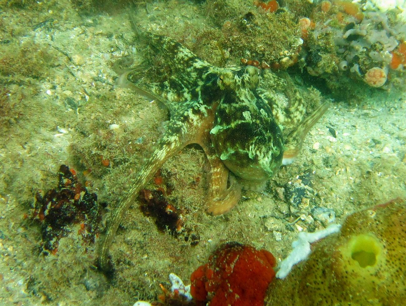 Sunday Dive: 21-04-2013 Rockingham - Orient Mako Rockingham%20grain%20teminal%2021-04-2013%20octopus%206