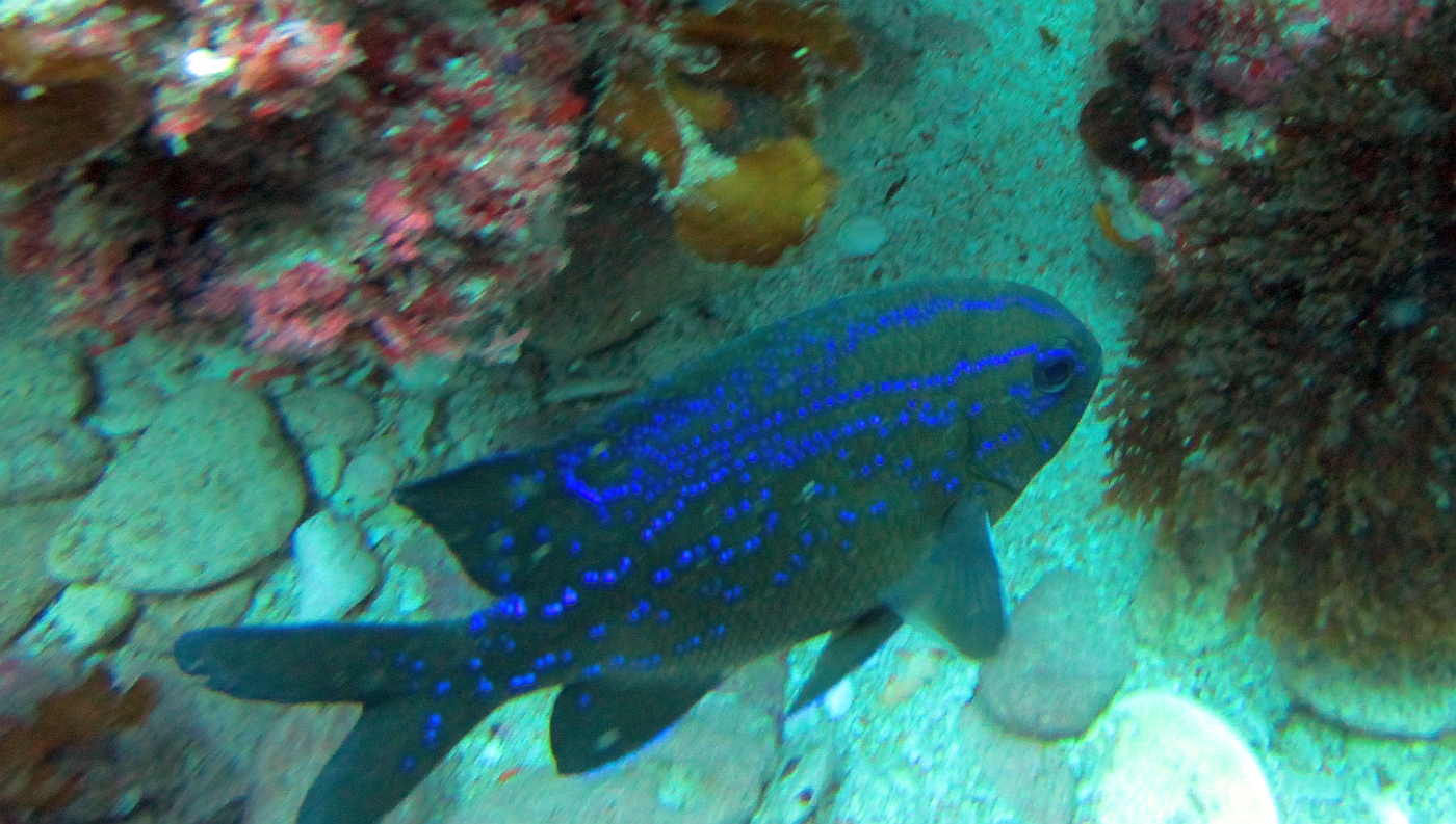 Sunday Dive: 05-05-2013 Roes Reef - OS300 Roes%20Reef%205-5-1013%20%20fish%204