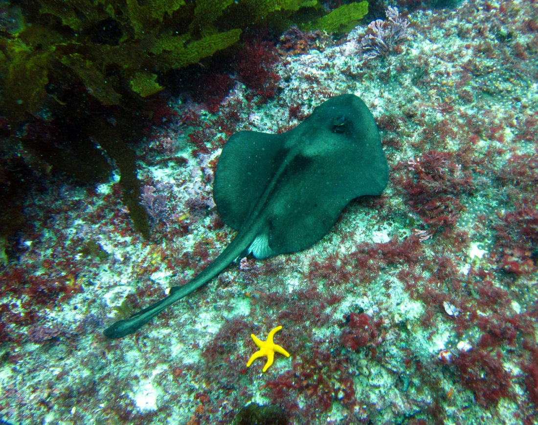 Sunday Dive: 05-05-2013 Roes Reef - OS300 Roes%20Reef%205-5-1013%20%20ray%202