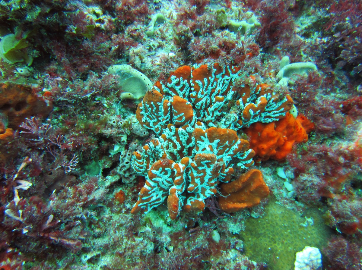 Sunday Dive: 05-05-2013 Roes Reef - OS300 Roes%20Reef%205-5-2013%20coral%202