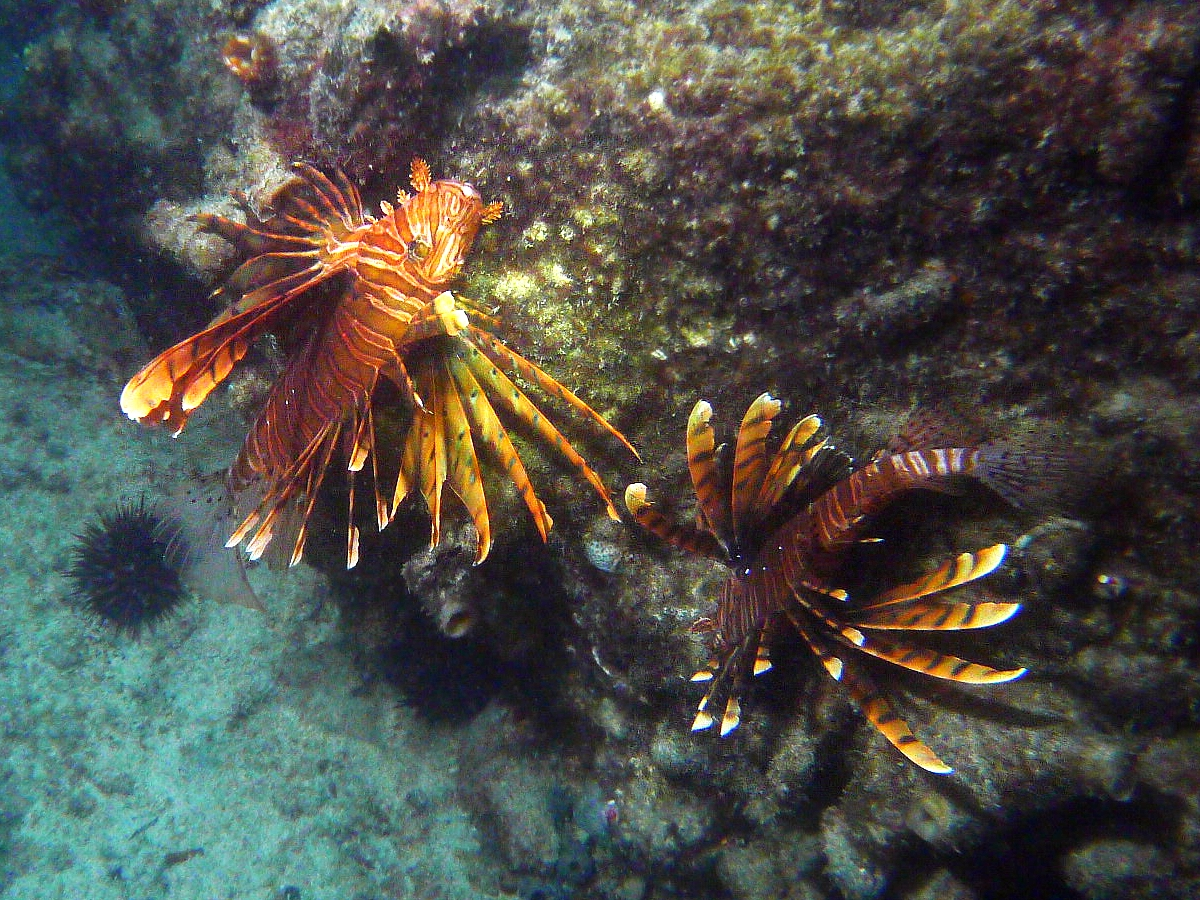 Some dive pics from a site at day and then night - Seiko SBDX001 Sue%27s%20Groyne%2001-06-2013%20lionfish%202