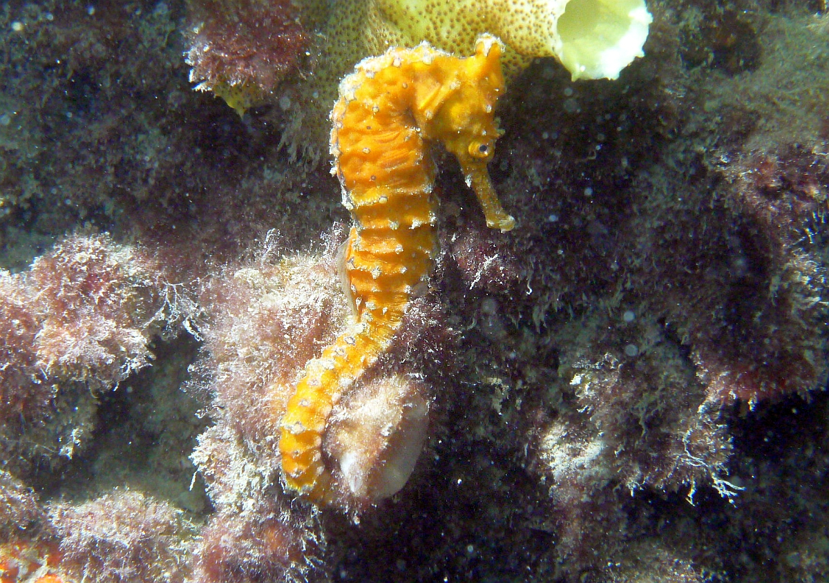 Some dive pics from a site at day and then night - Seiko SBDX001 Sue%27s%20Groyne%2001-06-2013%20seahorse%201