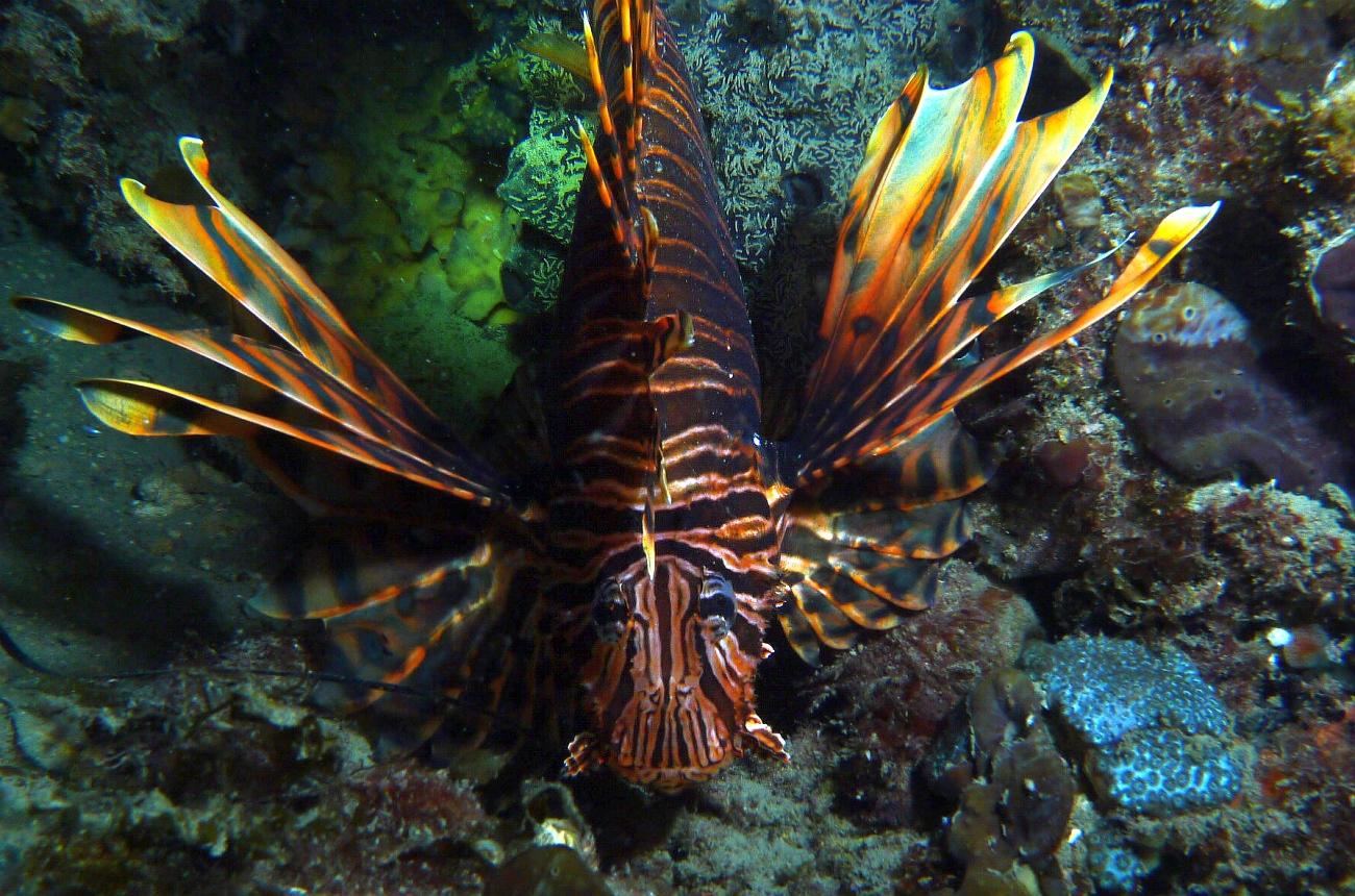 Night Dive: Woodman Point 18-06-2013 - Dievas Focal Woodman%20Point%20night%20dive%2018-06-2013%20lionfish%202