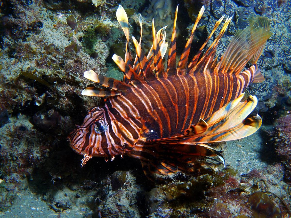 Night Dive: Woodman Point 18-06-2013 - Dievas Focal Woodman%20Point%20night%20dive%2018-06-2013%20lionfish%203