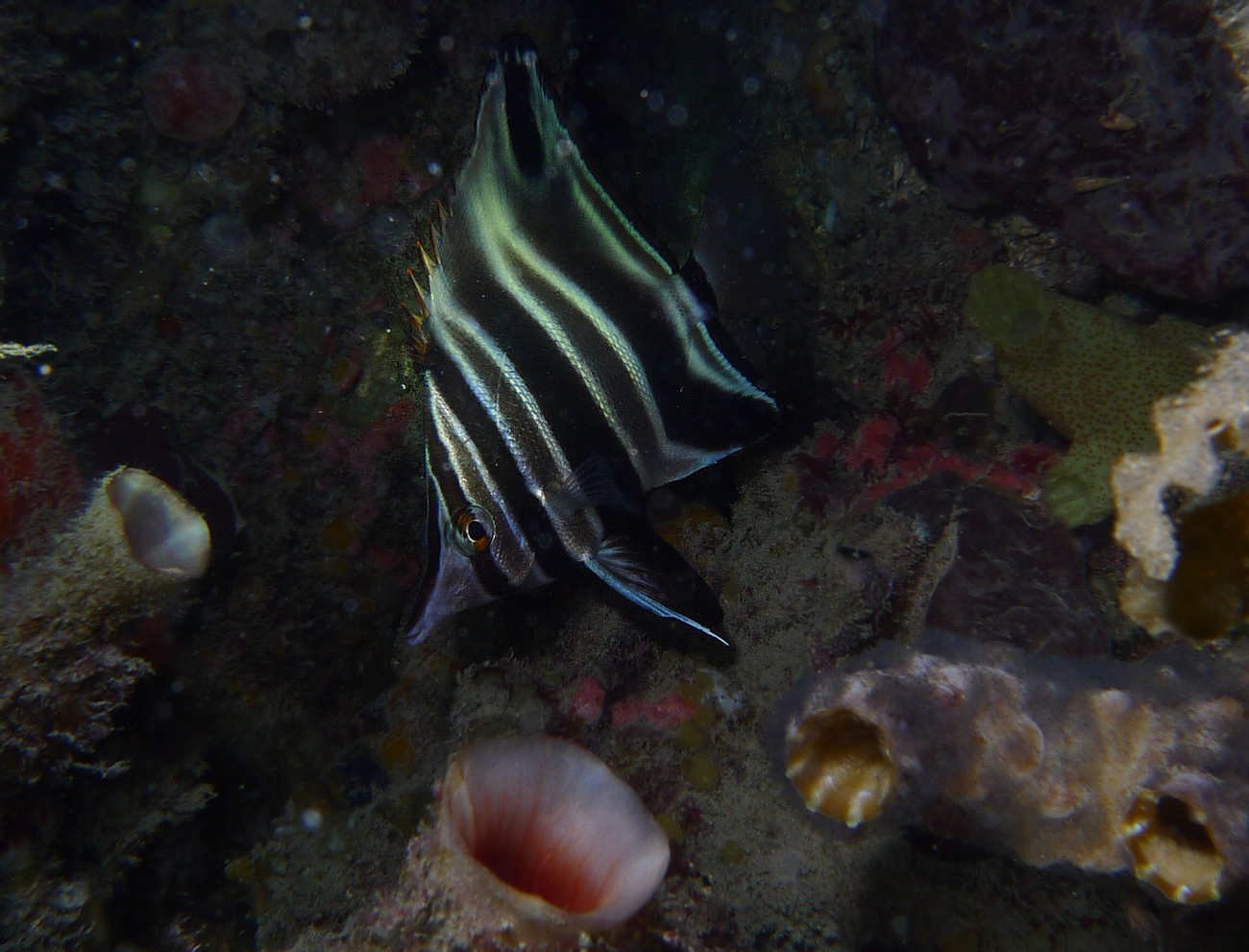 Night Dive: Woodman Point 18-06-2013 - Dievas Focal Woodman%20Point%20night%20dive%2018-06-2013%20mother-in-law%201