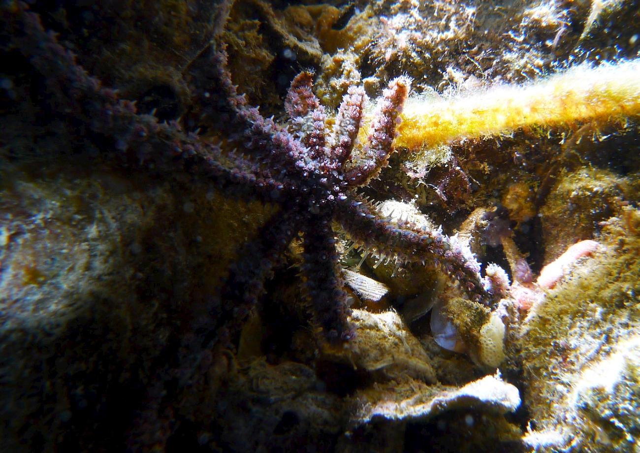 Night Dive: Woodman Point 18-06-2013 - Dievas Focal Woodman%20Point%20night%20dive%2018-06-2013%20starfish1
