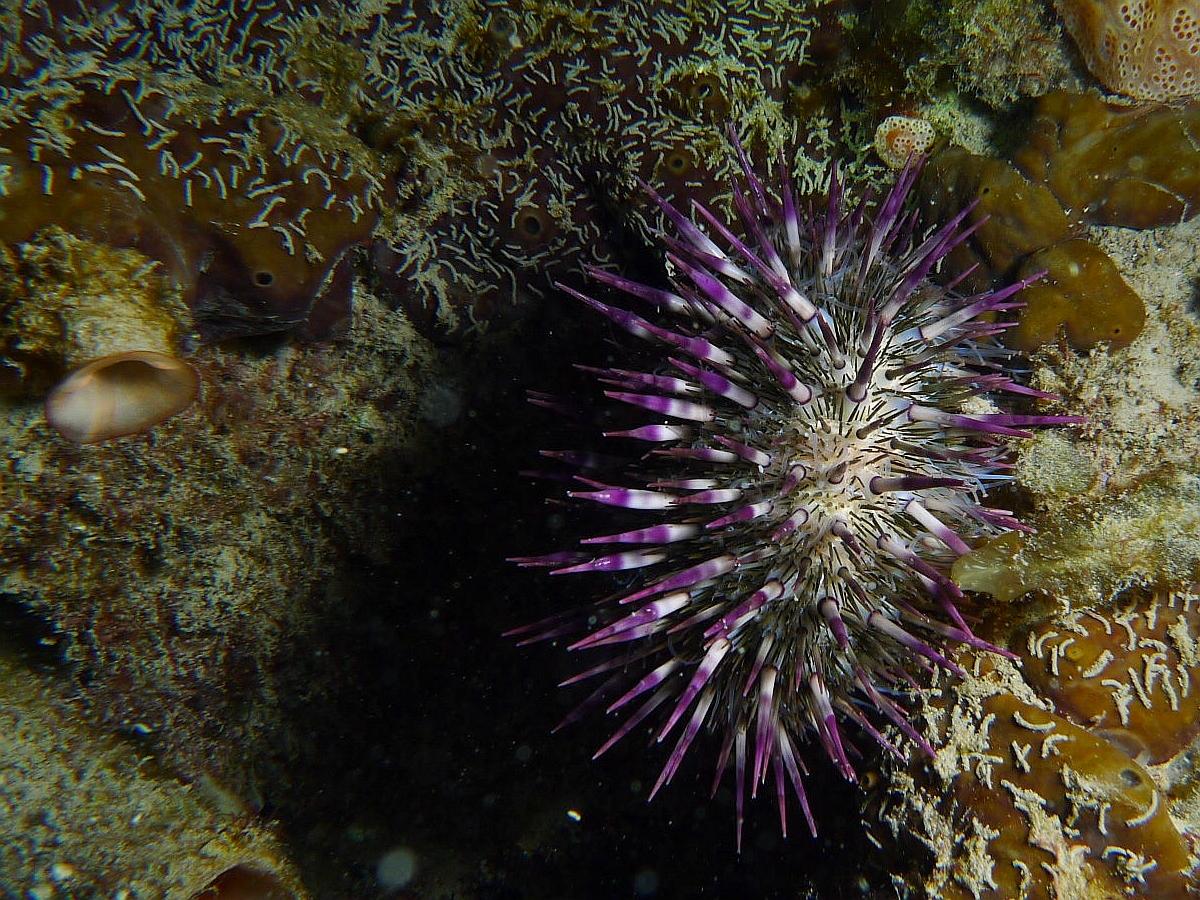 Night Dive: Woodman Point 18-06-2013 - Dievas Focal Woodman%20Point%20night%20dive%2018-06-2013%20urchin%201