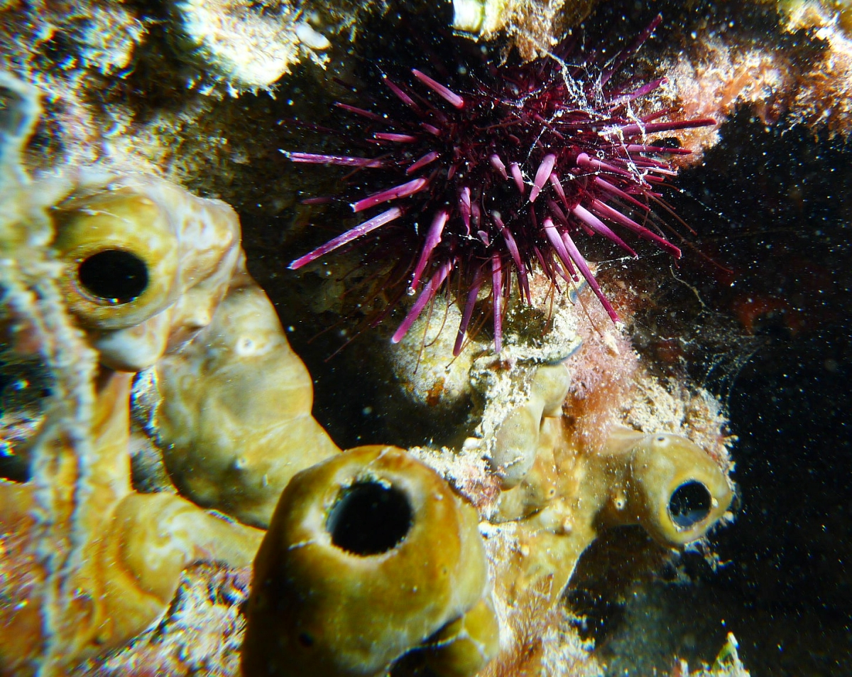 Night Dive: Woodman Point 18-06-2013 - Dievas Focal Woodman%20Point%20night%20dive%2018-06-2013%20urchin%202