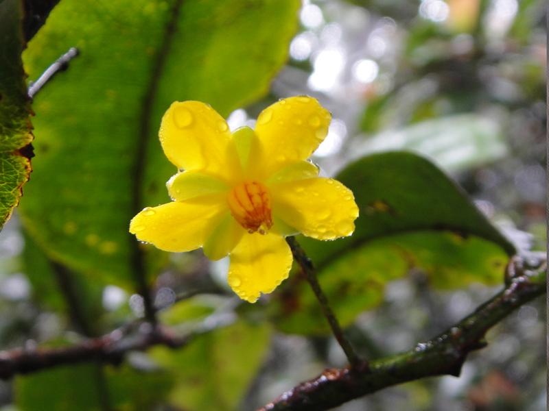 la fleur de Martin du 13 juin trouvée par Martine - Page 3 Ouratea_schusteri_mc6673_taita_mchristenh09704_3812_951f11