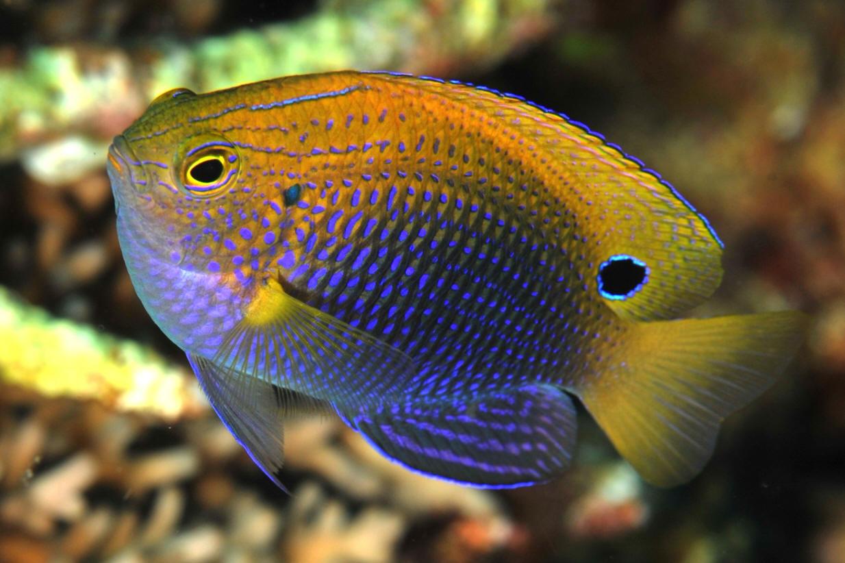 Aquarium de 840 litres recifal, les différentes étapes d'installation P.%20bankanensis%20FJ