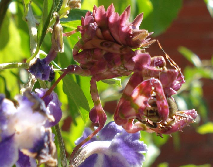 Monthly Avatar Theme For June: June Bugs! - Page 2 Spiny_flower_mantis_south_africa_ryan_3