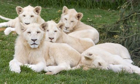 موسوعة الحيوانات المهددة بالإنقراض Five_male_white_lion_cubs_bred_at_Mojo_Zoo