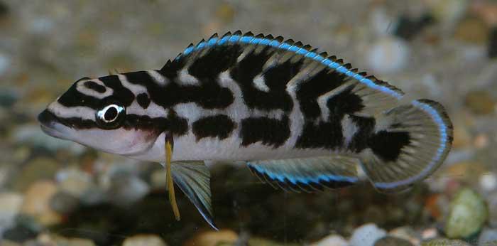 Petit bac de 60 litres brut  Julidochromis_transcriptus