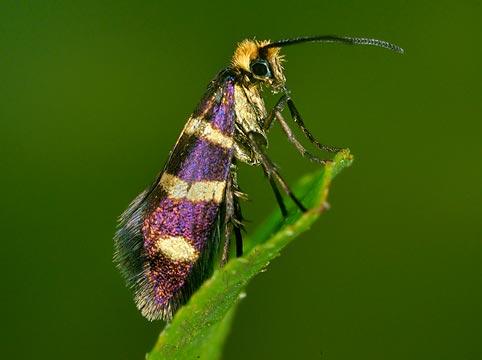 Sưu tập Bộ cánh vẩy  Micropterix_aureatella