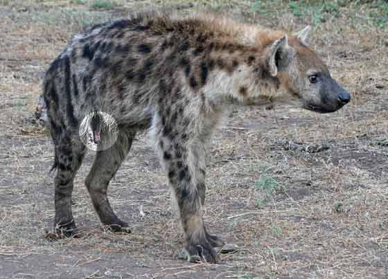 Soutenons les espèces oubliées et pourtant si joviales - Page 3 Hyena-rctb_5150a
