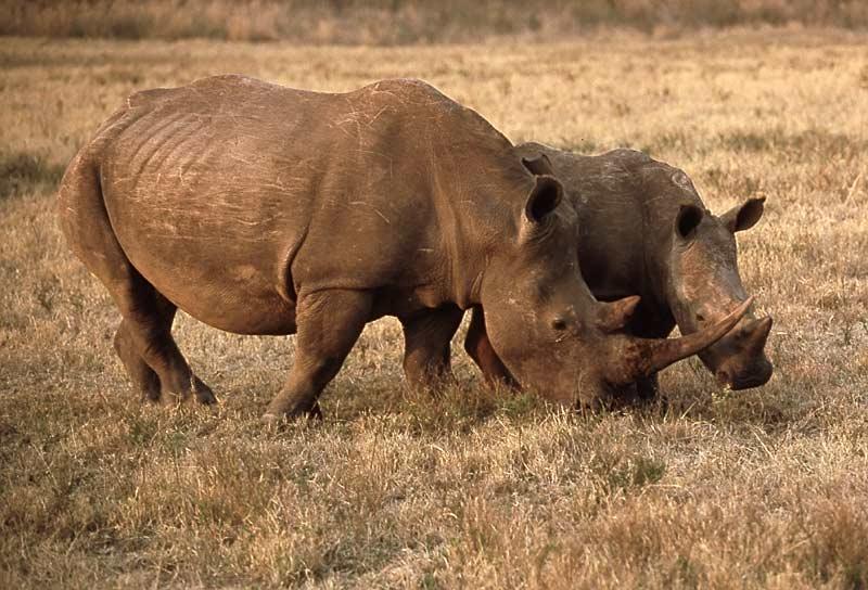 هل تعلم:موضوع مميز Rhinotal1