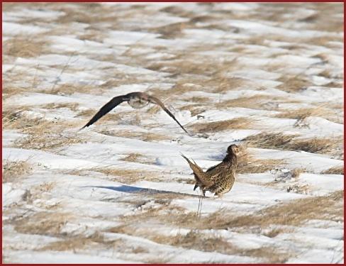 Falconiformes. sub Falconidae - sub fam Falconinae - gênero Falco - Página 2 IMG_1042-01