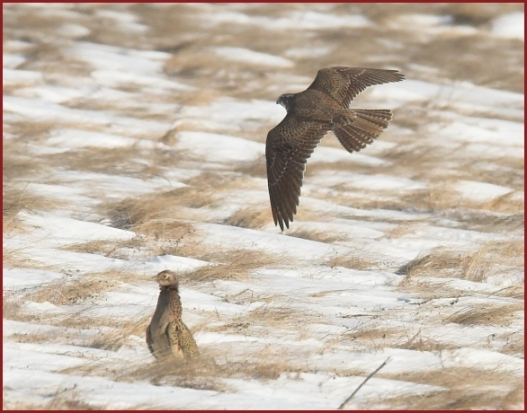 Falconiformes. sub Falconidae - sub fam Falconinae - gênero Falco - Página 2 Prairie%20falcon4