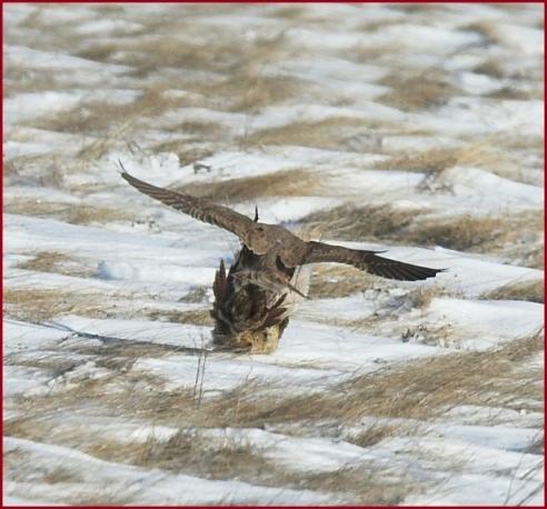 Falconiformes. sub Falconidae - sub fam Falconinae - gênero Falco - Página 2 Prairie%20falcon5