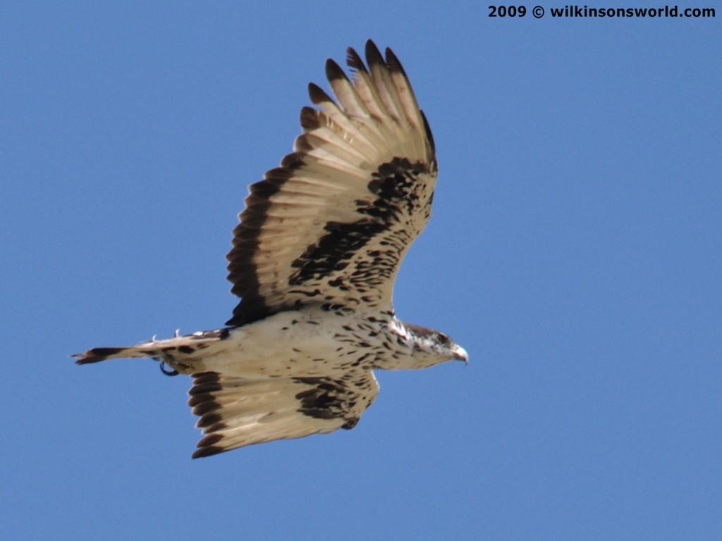 Falconiformes. Família  Acciptridae - Subfamília Buteonidade- Gaviões de penacho. genêro SPIZAETUS African-hawk-eagle-taken-at-windhoek-08-february-09