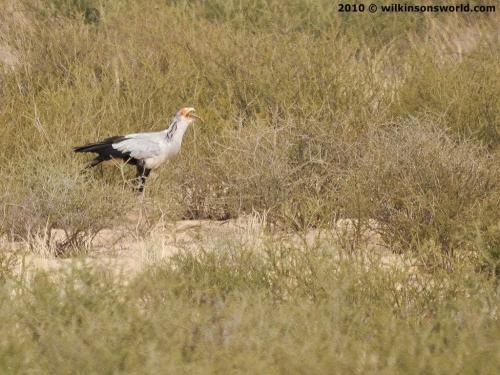 Falconiformes. Fam .Sagittaridae. espécie Sagittarius serpentarius.  Secretário 1403__500x375_5-secretarybird
