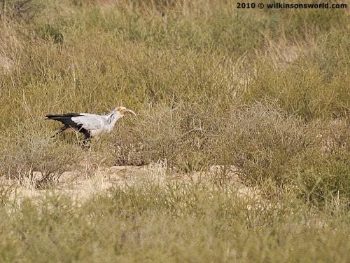 Falconiformes. Fam .Sagittaridae. espécie Sagittarius serpentarius.  Secretário 1405__500x375_7-secretarybird