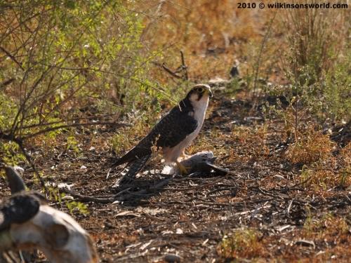 Falconiformes. sub Falconidae - sub fam Falconinae - gênero Falco 1420__500x375_1-lanner-falcon