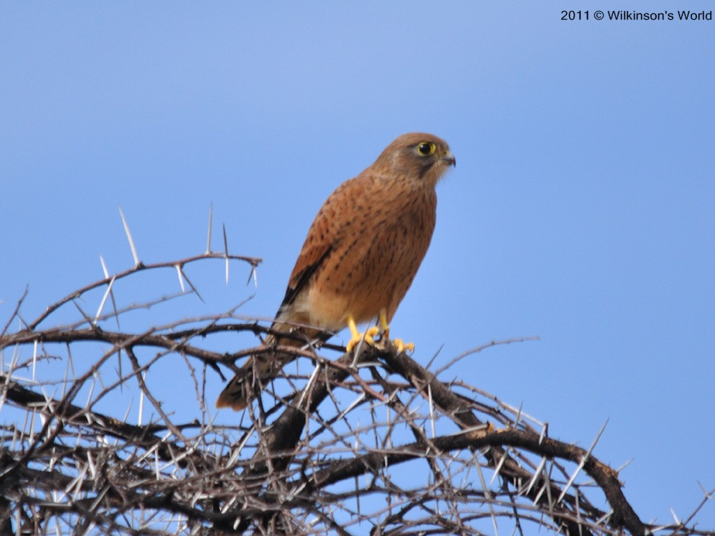 Falconiformes. sub Falconidae - sub fam Falconinae - gênero Falco - Página 2 3-greater-kestrel