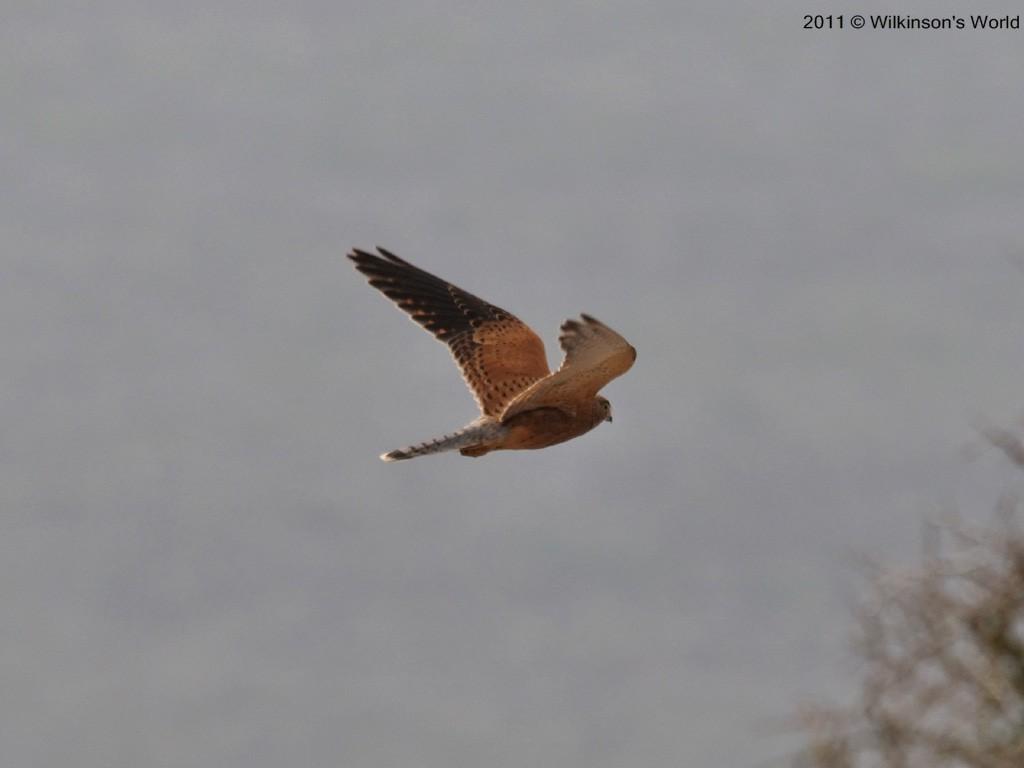Falconiformes. sub Falconidae - sub fam Falconinae - gênero Falco - Página 2 4-greater-kestrel