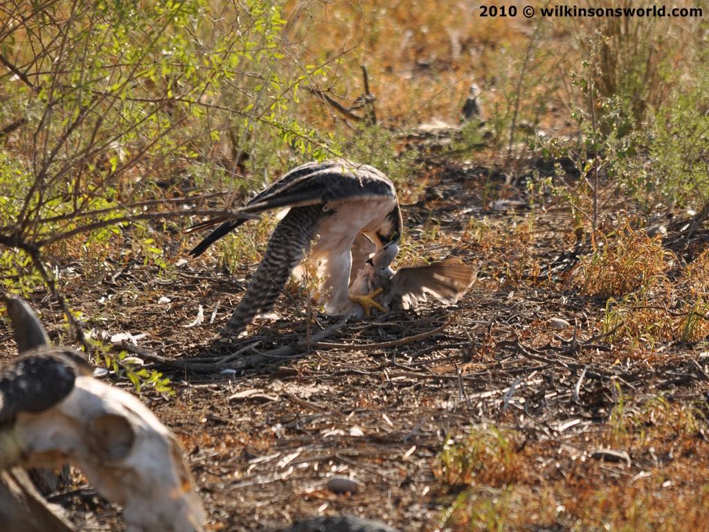 Falconiformes. sub Falconidae - sub fam Falconinae - gênero Falco 5-lanner-falcon
