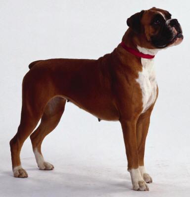 Il Boxer Cani_difesa_5