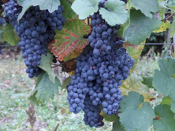 زراعة العنب ، و ملف كامل مهم لزراعة العنب  Blaufrankisch