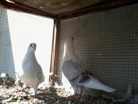 حمام زاجل للبيع البحرين Igl24873