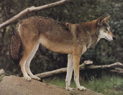 الموسوعة الكاملة للكلبيات Redwolf1