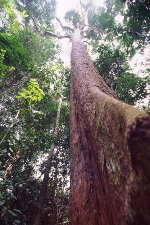 Árvores - Nossos baixos antes de tomar forma Bubinga_tropical_forest_tree