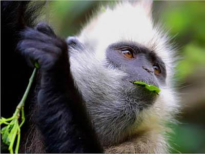 10 loài động vật quý hiếm nguy cấp 2010 090410_TNTN_Dongvatquyhiemnguycap2010vooc