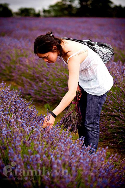 Biêng biếc sắc tím mùa hoa Lavender 020411afamilyDLhoa8